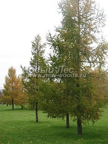 Лиственница европейская: посадка крупномеров хвойных деревьев
