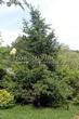 Хвойный крупномер Лиственница европейская (Лиственница опадающая) (Larix decidua) - 108