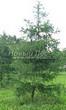 Хвойный крупномер Лиственница европейская (Лиственница опадающая) (Larix decidua) - 109