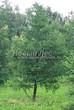 Хвойный крупномер Лиственница европейская (Лиственница опадающая) (Larix decidua) - 111