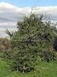 Хвойный крупномер Лиственница европейская (Лиственница опадающая) (Larix decidua) - 113
