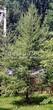 Хвойный крупномер Лиственница европейская (Лиственница опадающая) (Larix decidua) - 114