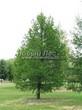 Хвойный крупномер Лиственница европейская (Лиственница опадающая) (Larix decidua) - 115