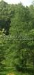 Хвойный крупномер Лиственница европейская (Лиственница опадающая) (Larix decidua) - 116