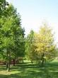 Хвойный крупномер Лиственница европейская (Лиственница опадающая) (Larix decidua) - 117