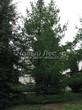 Хвойный крупномер Лиственница европейская (Лиственница опадающая) (Larix decidua) - 118