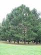 Хвойный крупномер Лиственница европейская (Лиственница опадающая) (Larix decidua) - 119