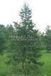 Хвойный крупномер Лиственница европейская (Лиственница опадающая) (Larix decidua) - 120