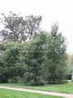 Хвойный крупномер Лиственница европейская (Лиственница опадающая) (Larix decidua) - 121