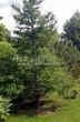 Хвойный крупномер Лиственница европейская (Лиственница опадающая) (Larix decidua) - 122
