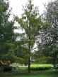 Хвойный крупномер Лиственница европейская (Лиственница опадающая) (Larix decidua) - 123