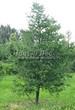 Хвойный крупномер Лиственница европейская (Лиственница опадающая) (Larix decidua) - 124