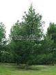 Хвойный крупномер Лиственница европейская (Лиственница опадающая) (Larix decidua) - 125
