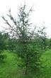 Хвойный крупномер Лиственница европейская (Лиственница опадающая) (Larix decidua) - 126
