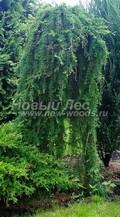 Хвойный крупномер Лиственница тонкочешуйчатая (Лиственница Кемпфера) Стифф Випер (Larix kaempferi 'Stiff Weeper')