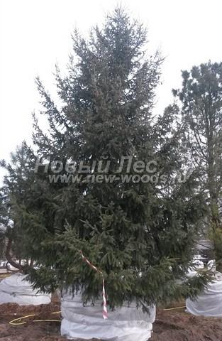 Хвойный крупномер Ель обыкновенная (европейская) (Picea abies)