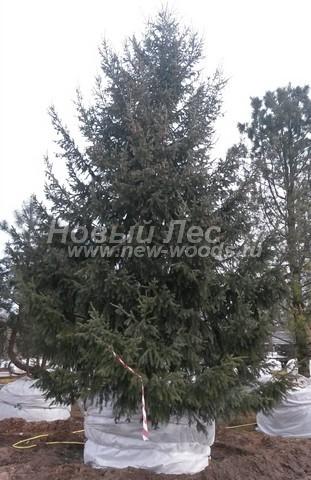 Ель обыкновенная (Ель европейская): посадка крупномеров хвойных деревьев