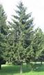 Хвойный крупномер Ель обыкновенная (Picea abies) - 102