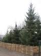 Хвойный крупномер Ель обыкновенная (Picea abies) - 103