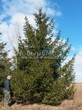 Хвойный крупномер Ель обыкновенная (Picea abies) - 104
