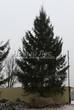 Хвойный крупномер Ель обыкновенная (Picea abies) - 105