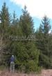 Хвойный крупномер Ель обыкновенная (Picea abies) - 106