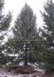 Хвойный крупномер Ель обыкновенная (Picea abies) - 107