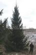 Хвойный крупномер Ель обыкновенная в Красногорском районе Московской области (Отрадное)