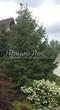 Хвойный крупномер Ель обыкновенная (Picea abies) - 109