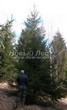 Хвойный крупномер Ель обыкновенная (Picea abies) - 110