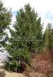 Хвойный крупномер Ель обыкновенная (Picea abies) - 111