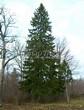 Хвойный крупномер Ель обыкновенная (Picea abies) - 112
