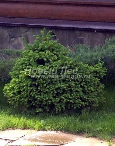 Хвойный крупномер Ель обыкновенная Барри (Picea abies 'Barryi')