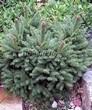 Хвойный крупномер Ель обыкновенная Барри (Picea abies 'Barryi') - 101
