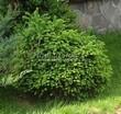 Хвойный крупномер Ель обыкновенная Барри (Picea abies 'Barryi') - 102
