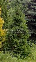 Хвойный крупномер Ель обыкновенная (европейская) Максвелла (Picea abies 'Maxwelli')
