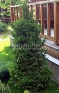 Хвойный крупномер Ель обыкновенная (европейская) Виллс Цверг (Вилл Цверг) (Picea abies 'Will's Zwerg')