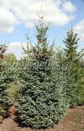 Хвойный крупномер Ель сизая (канадская) (Picea glauca)