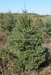 Хвойный крупномер Ель сизая (канадская) (Picea glauca) - 101