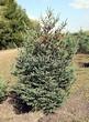 Хвойный крупномер Ель сизая (канадская) (Picea glauca) - 102