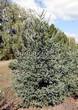 Хвойный крупномер Ель сизая (канадская) (Picea glauca) - 103