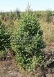 Хвойный крупномер Ель сизая (канадская) (Picea glauca) - 104