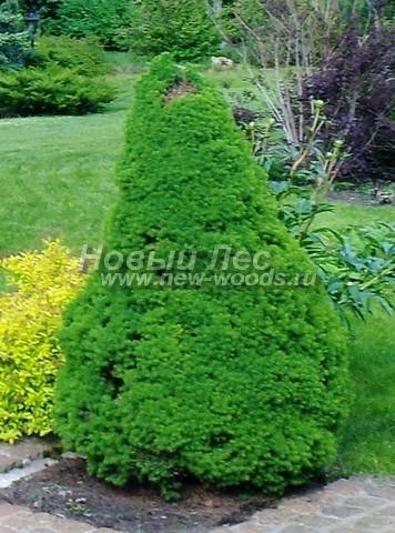 Хвойный крупномер Ель сизая (канадская) Коника (Picea glauca 'Conica')
