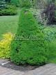 Хвойный крупномер Ель сизая Коника (Ель канадская Коника, Picea glauca 'Conica') - 101