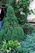 Хвойный крупномер Ель сизая Коника (Ель канадская Коника, Picea glauca 'Conica') - 102