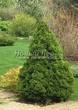 Хвойный крупномер Ель сизая Коника (Ель канадская Коника, Picea glauca 'Conica') - 104