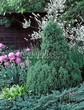 Хвойный крупномер Ель сизая Коника (Ель канадская Коника, Picea glauca 'Conica') - 105