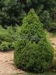 Хвойный крупномер Ель сизая Коника (Ель канадская Коника, Picea glauca 'Conica') - 106