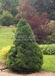 Хвойный крупномер Ель сизая Коника (Ель канадская Коника, Picea glauca 'Conica') - 108