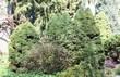 Хвойный крупномер Ель сизая Коника (Ель канадская Коника, Picea glauca 'Conica') - 109
